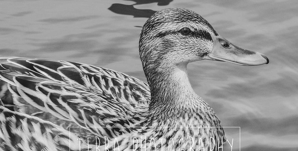 Mallard Duck Black and White Print