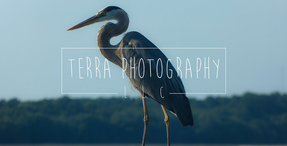 Blue Heron on Post Print