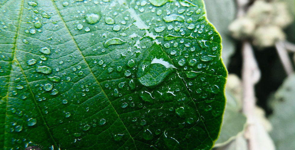 Leaf With Water Droplets Print