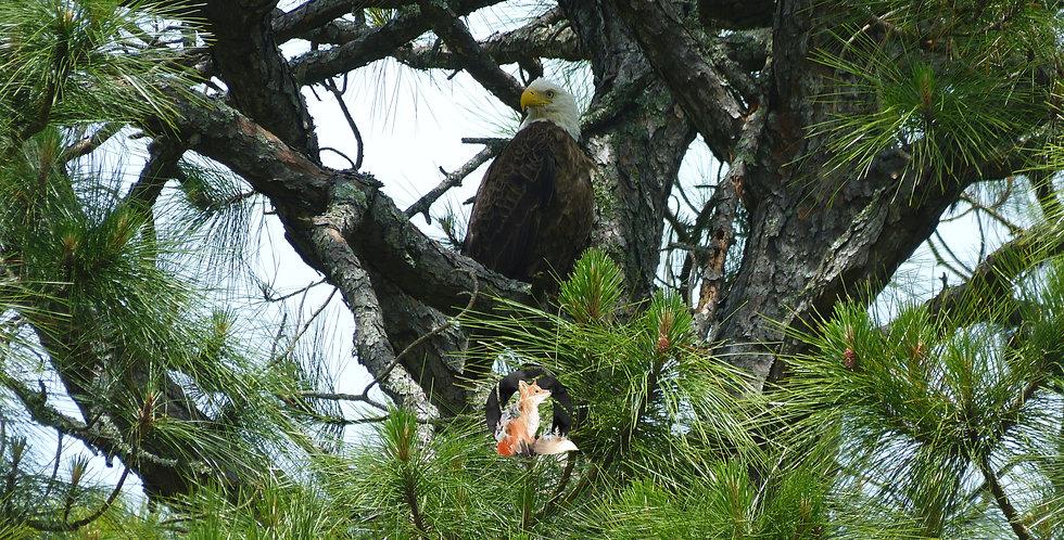 Bald Eagle in Tree Print