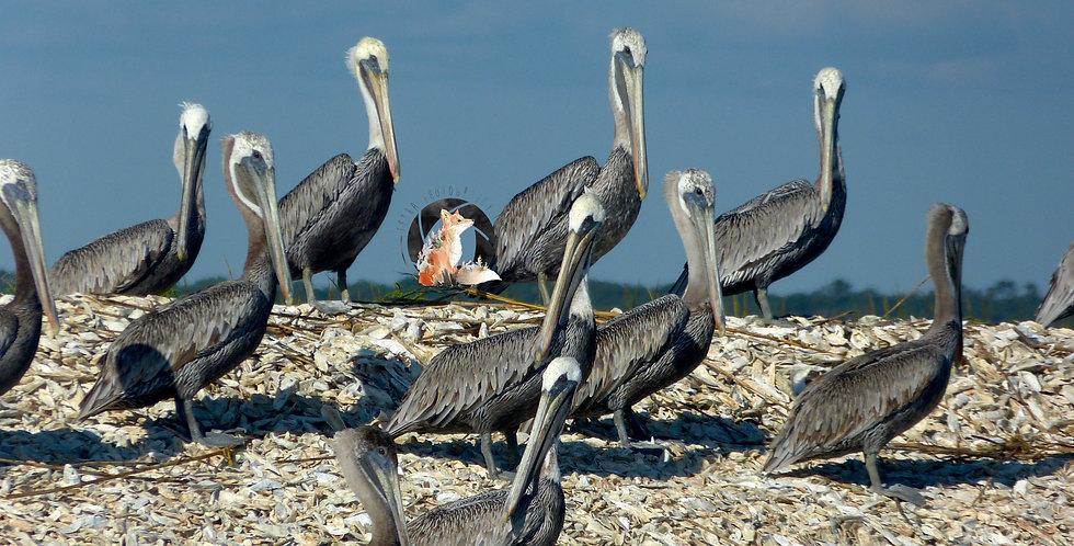 Pelicans Print