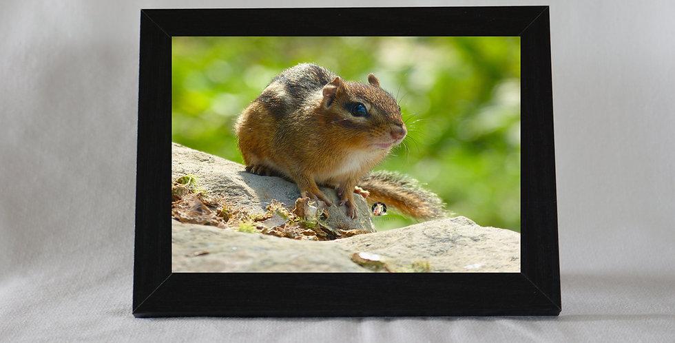 Chipmunk Print Framed 5 x 7