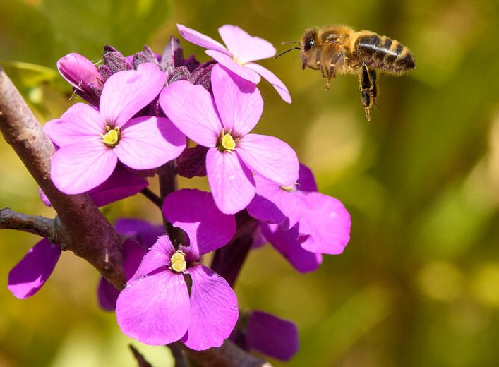 Honeybee in the Wallflowers
