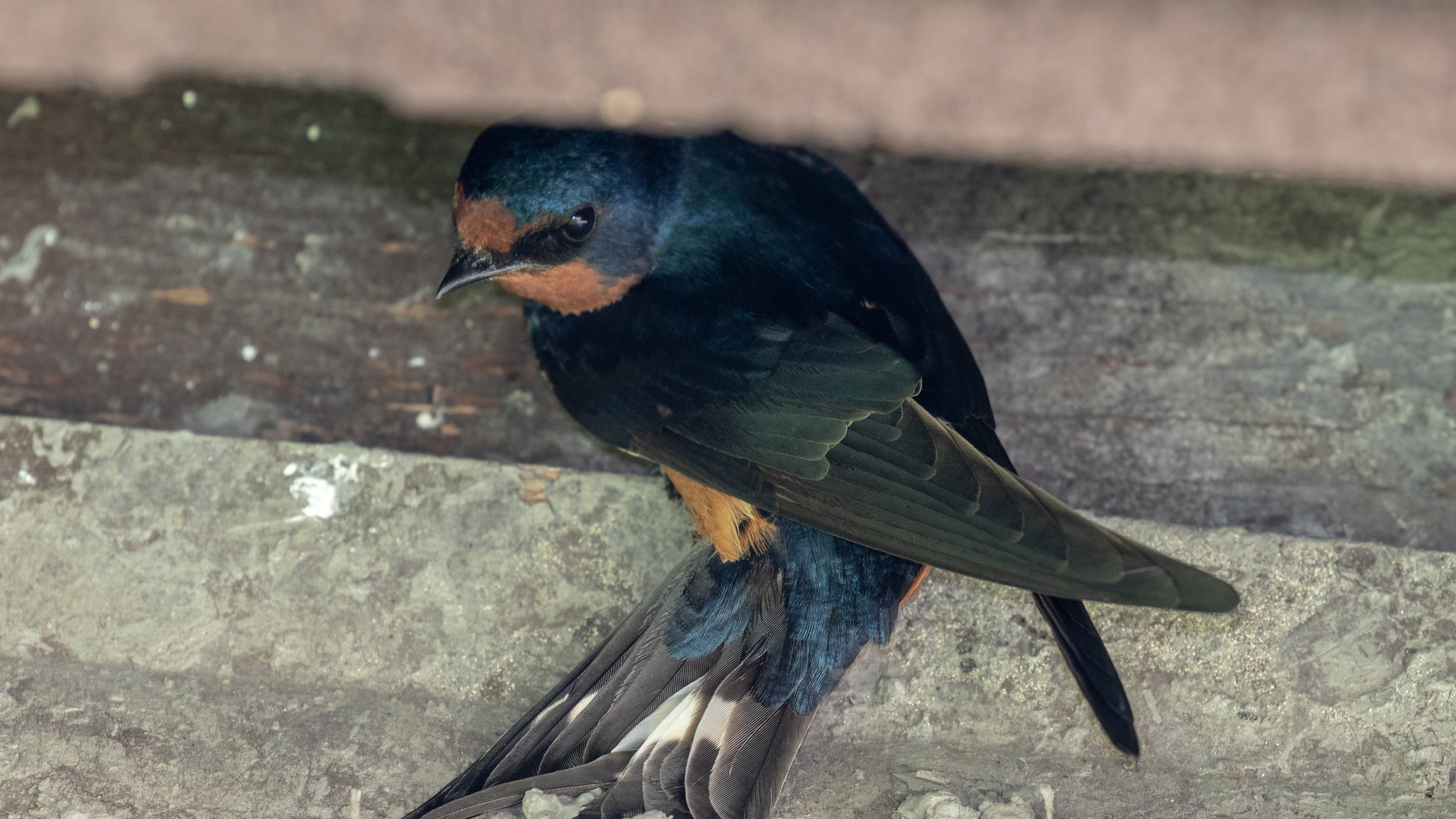 Cliff Swallow Evaluating Nest Site