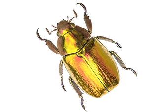 gold beetle.png