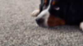 carpet dog.jpg