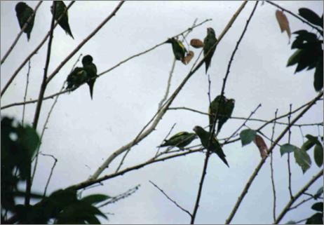 Loros del Parque Santander- Leticia