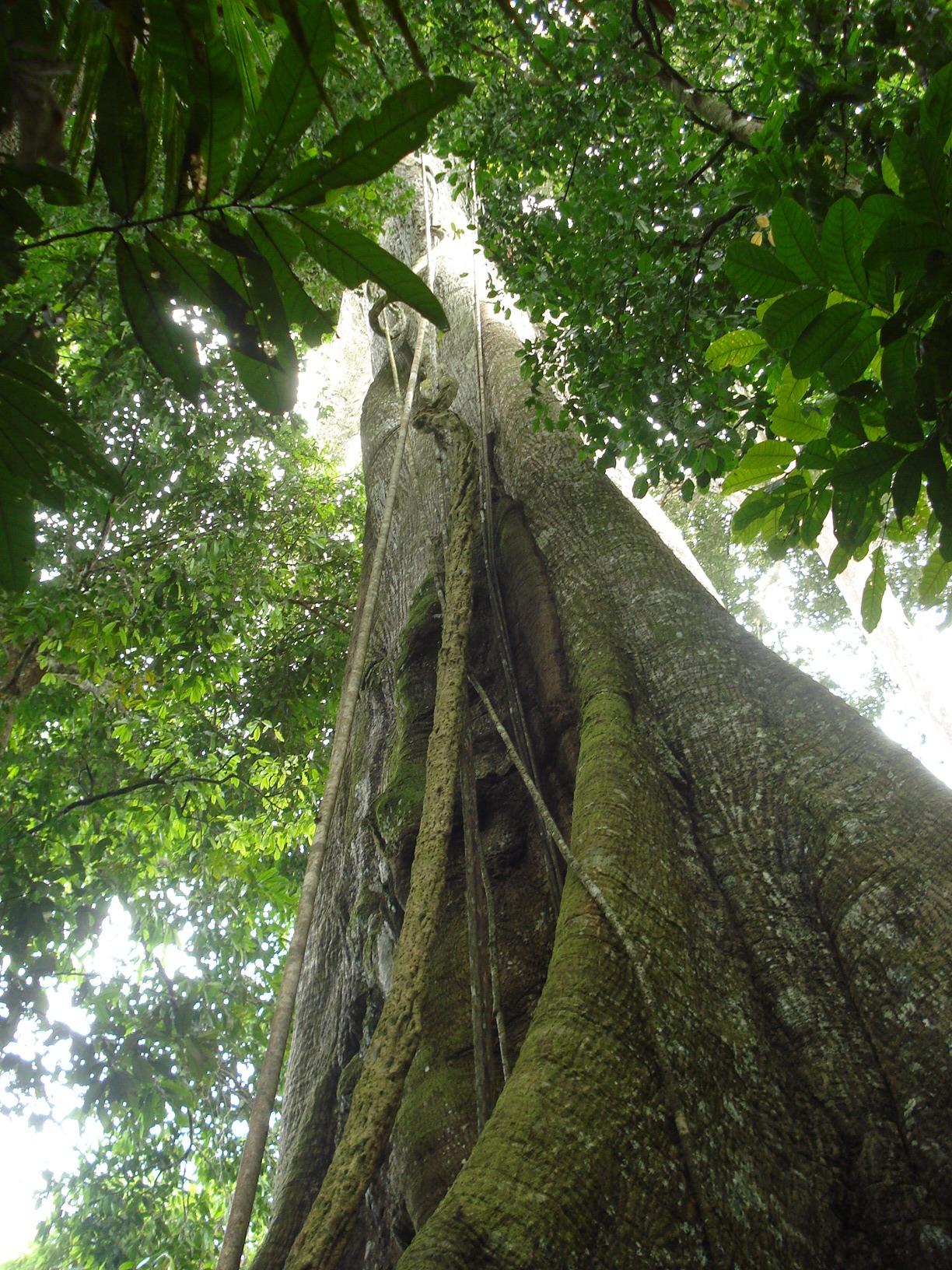 Arbol de Ceiba