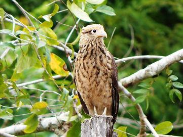 Aves del Amazonas.