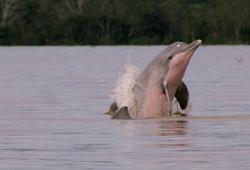 Delfin gris