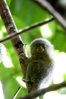 Mico León del Amazonas