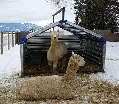 Promold 8' Calf Shelter with Alpacas inside