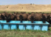 bison drinking from Promold water trough