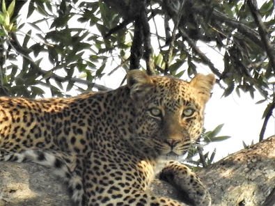 Leopard In A Tree, Leopard, Big Cat, Saf Photograph by Randy Zuckerari,