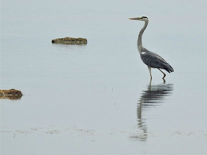 Heron, Waterbird, Photograph by Randy Zucker