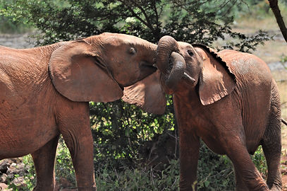 Playtime! Elephants. Baby Elephants. Elephant Orphanage, Photograph by Randy Zucker