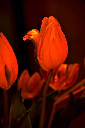 This Bud's For You. Tulips. Buds. Flowers. hotograph by Randy Zucker.