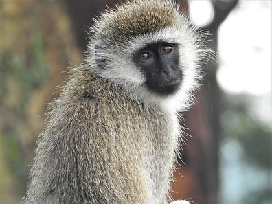 Vervet Monkey, Monkey, Safari, Africa, Photograph by Randy Zucker