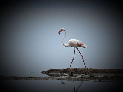 Flamingo,  Photograph by Randy Zucker