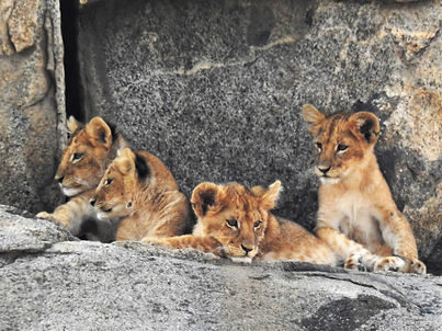 Lion Cubs, Safari, Photograph by Randy Zucker