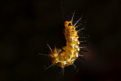黃襟蛺蝶幼蟲