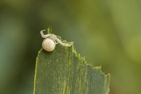 蟹蛛 Crab Spider