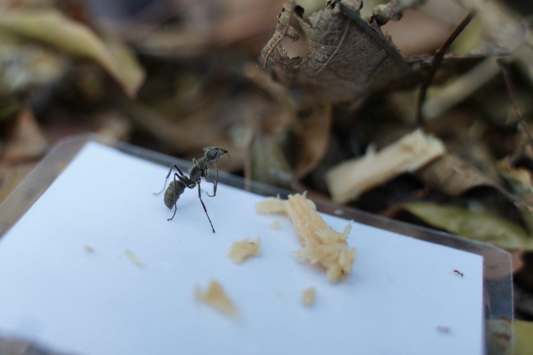 皺紋雙刺猛蟻 Diacamma rugosum