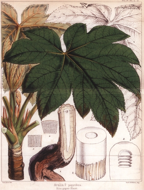 ©️Economic Botany Collection of the Royal Botanic Garden, Kew, UK