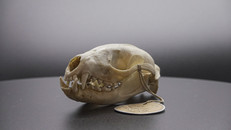 Masked Palm Civet Skull