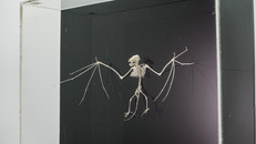 Bat Skeleton prepared by Bogadek