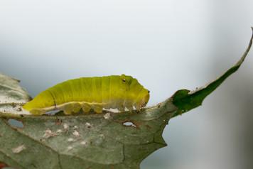 木蘭青鳳蝶幼蟲 Common Jay Caterpillar