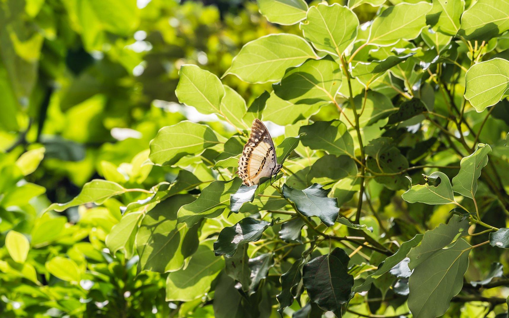 忘憂尾蛺蝶 Shan Nawab (Polyura nepenthes)