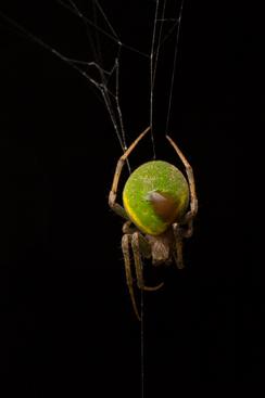 梅氏新園蛛