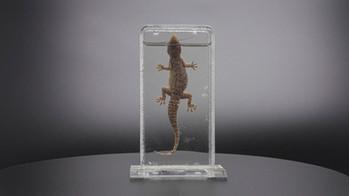 Brooke's Gecko