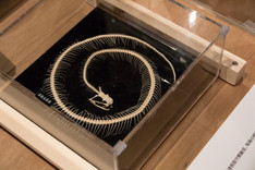 Copy of 鮑嘉天製作的蛇骨標本.jpg