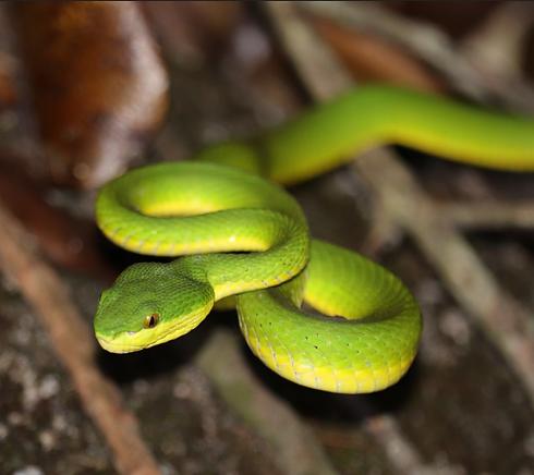 Bamboo Snake / Cryptelytrops albolabris