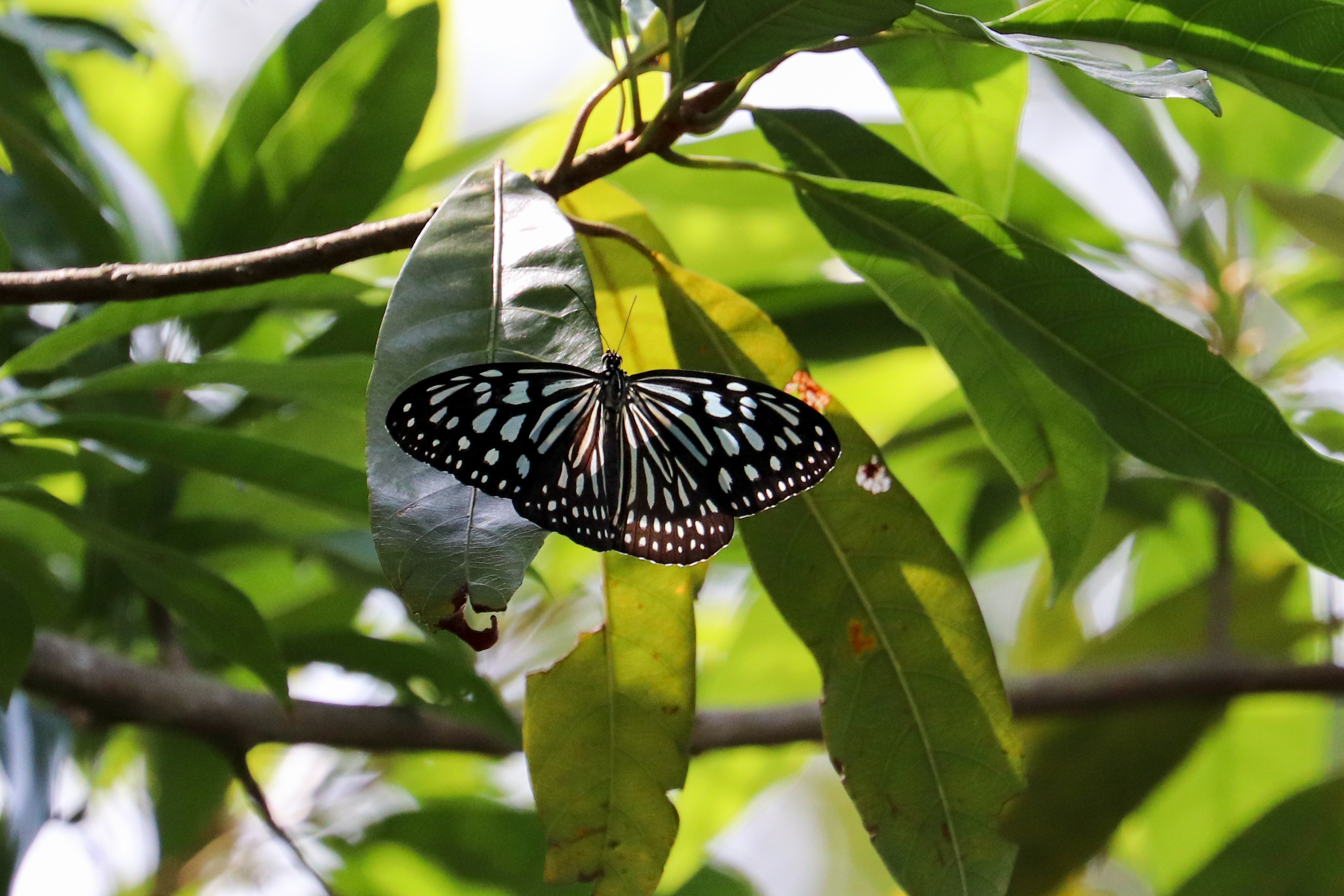 擬旖斑蝶Ceylon Blue Glassy Tiger