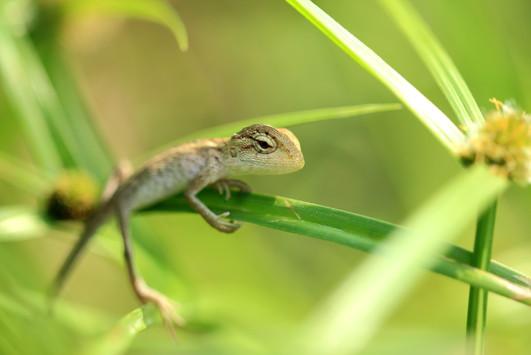 變色樹蜥(幼體)