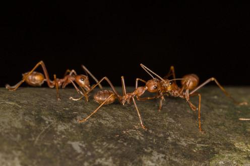 黃猄蟻 Weaver Ant