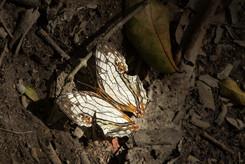網絲蛺蝶 Common Mapwing Butterfly