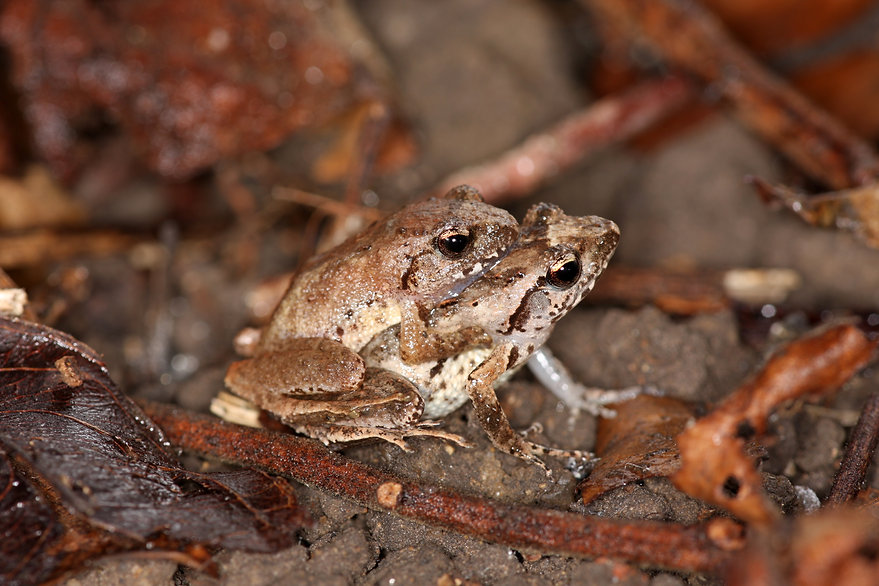 Romer's Tree Frog 盧氏小樹蛙
