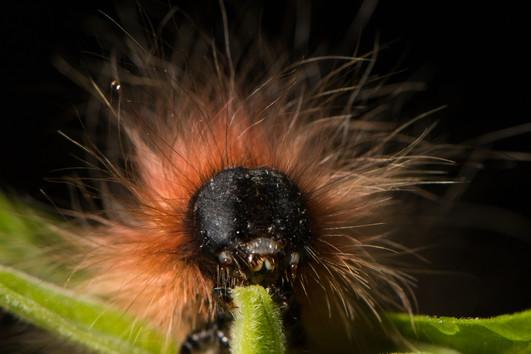 鱗翅目幼蟲