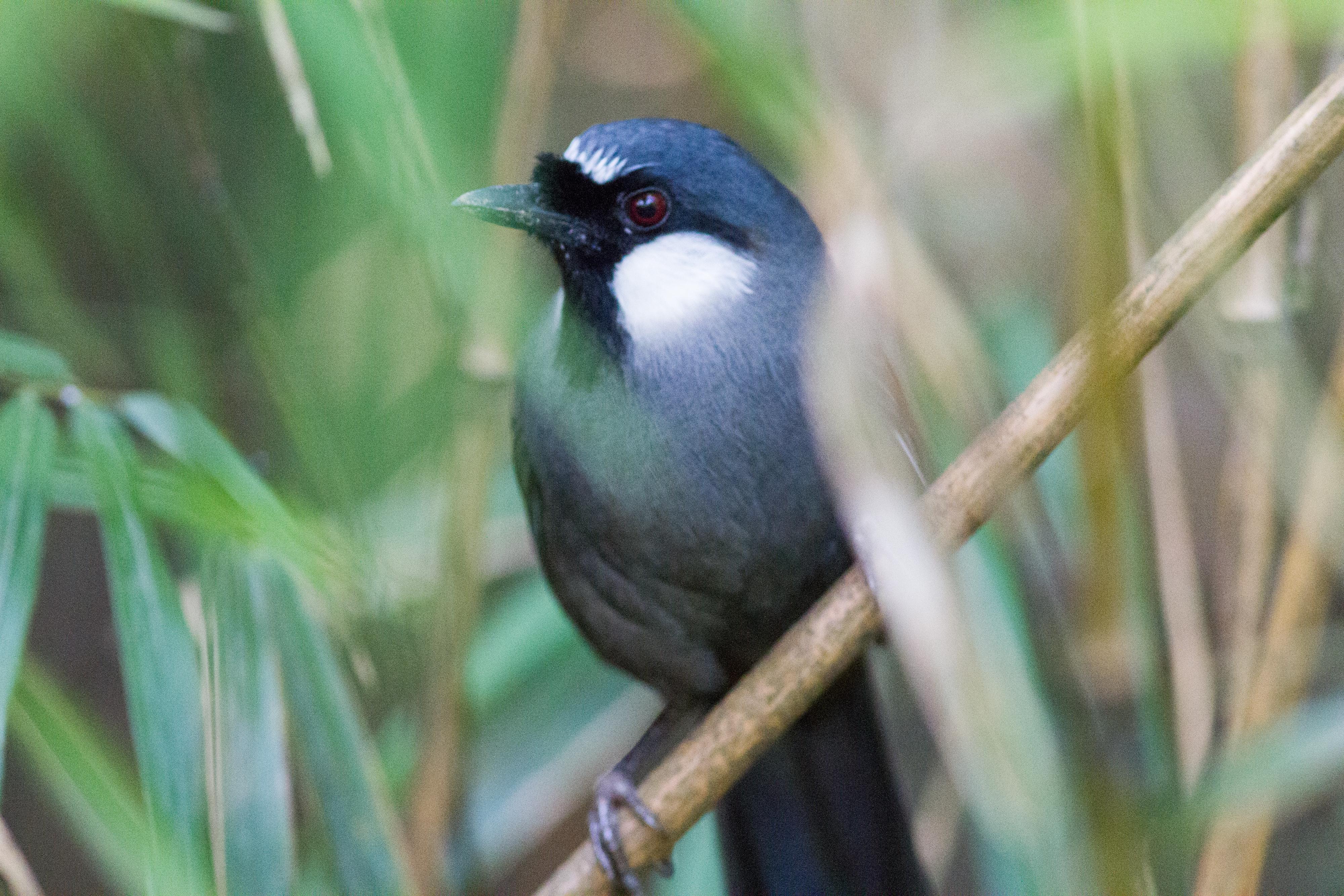 黑喉噪鶥Black-throated Laughingthrush