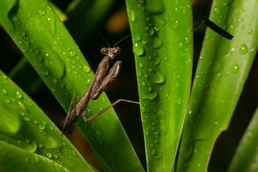 螳螂 Praying Mantis