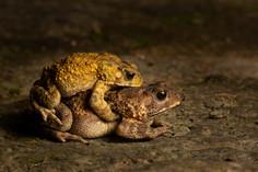 黑眶蟾蜍 Asian Common Toad