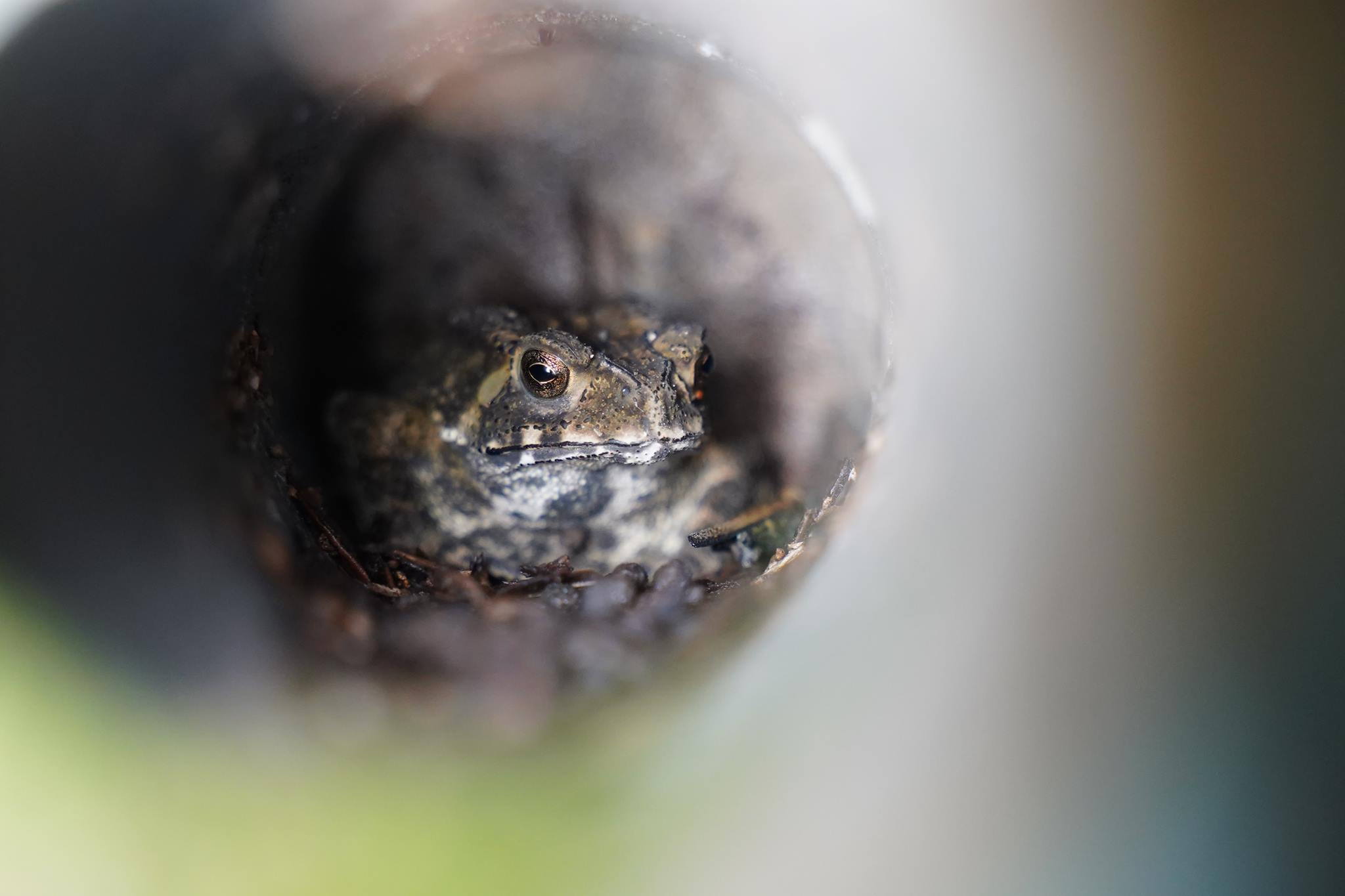 虎紋蛙 Chinese Bullfrog?