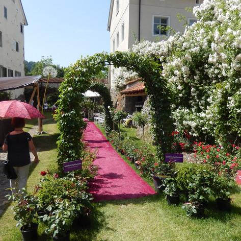 Rosenspalier an der Stadtmauer