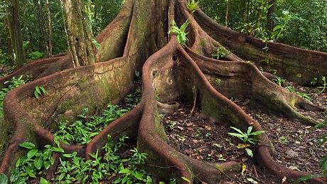 buttress-roots-eastern-amazon-ecuador-1920x1080.jpg