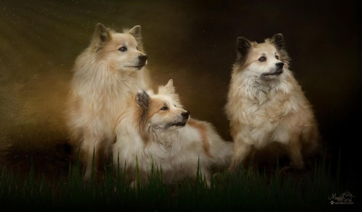Female Names | Nýlendu Icelandic Sheepdogs