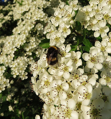 Bumblebee on hawthorn flowers